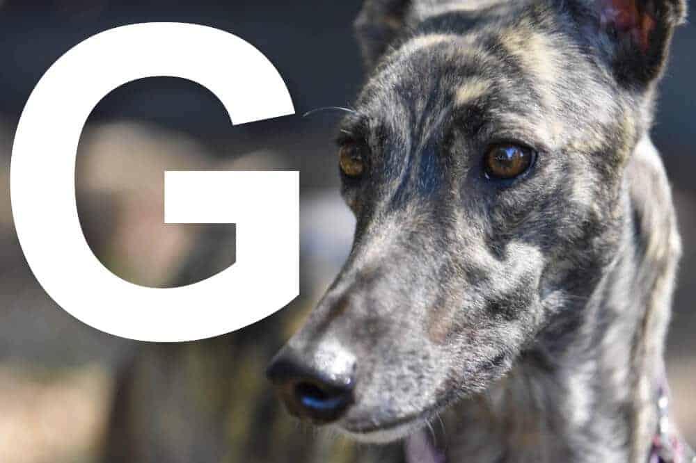 hunderassen mit g alphabetisch liste fci greyhound