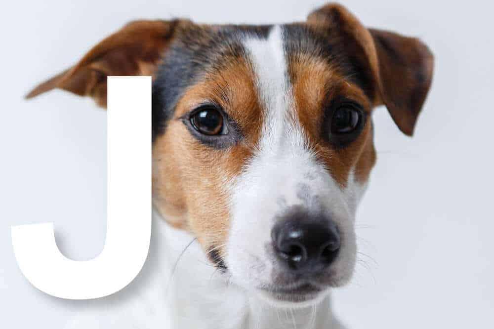 hunderassen mit j alphabetisch liste fci jack russell terrier
