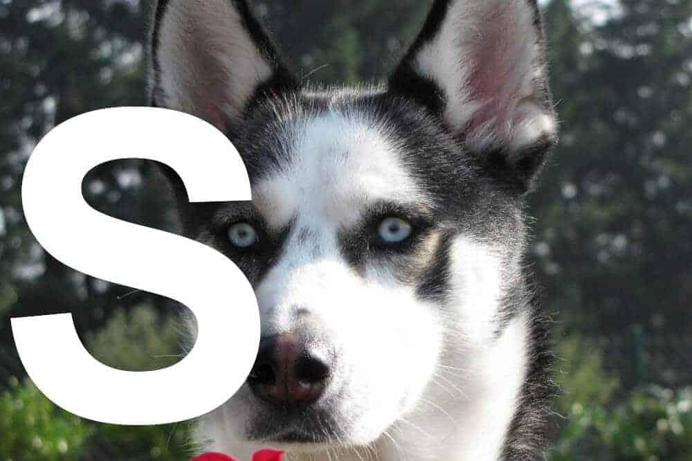hunderassen mit s alphabetisch liste fci sibirischer husky