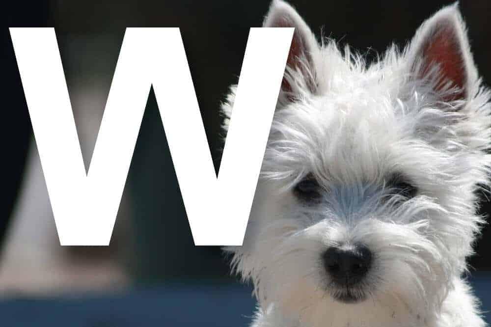 hunderassen mit w alphabetisch liste fci west highland white terrier