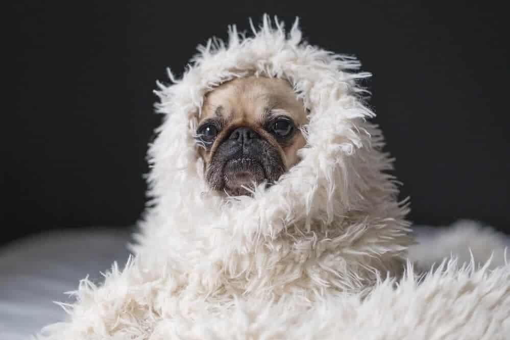 Usa Mops Positiv Auf Covid 19 Getestet Die Hundezeitung