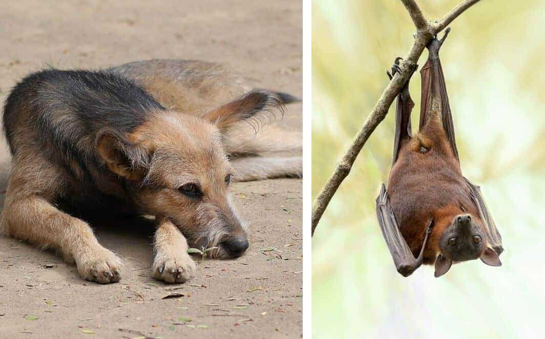 tollwut rabies hund dog infektion virus streuner