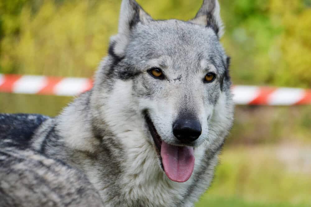 tschechoslowakischer wolfhund wolfshund hunde rasse wolf aussehen charakter eigenschaften grau silber