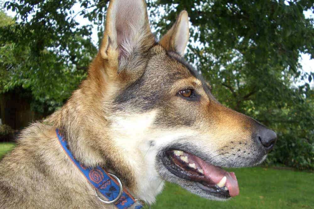 tschechoslowakischer wolfhund wolfshund hunde rasse wolf aussehen charakter eigenschaften kopf