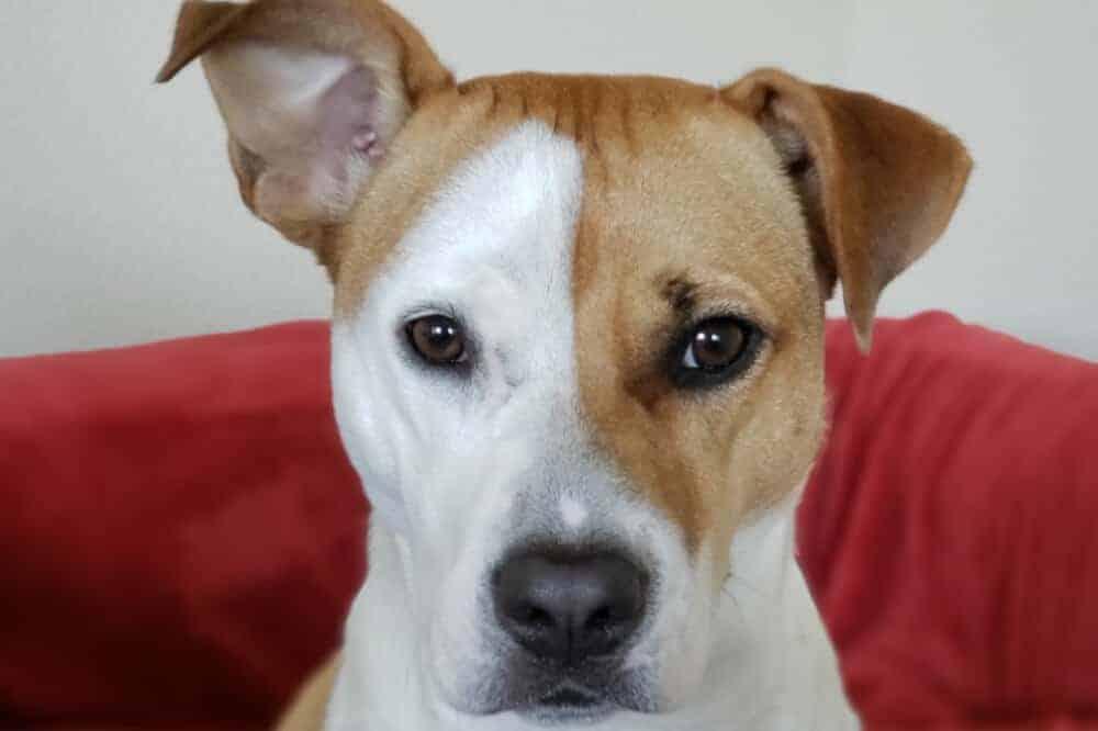 american staffordshire terrier amstaff ohren hund hunderasse aussehen beschreibung eigenschaften