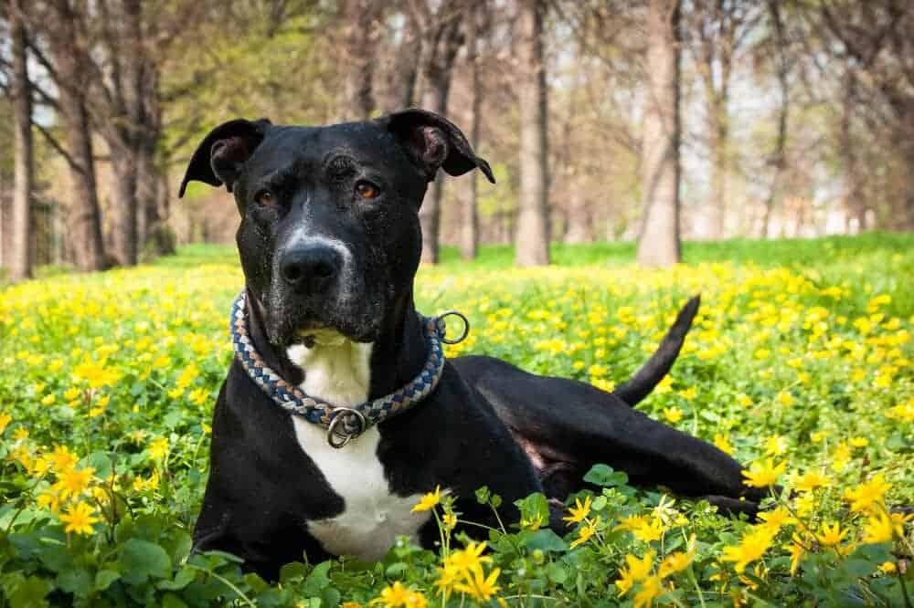 american staffordshire terrier amstaff schwarz hund hunderasse aussehen beschreibung eigenschaften
