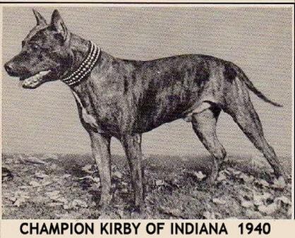 american staffordshire terrier hunderasse akc champion 1940 kirby of indiana kupierte ohren