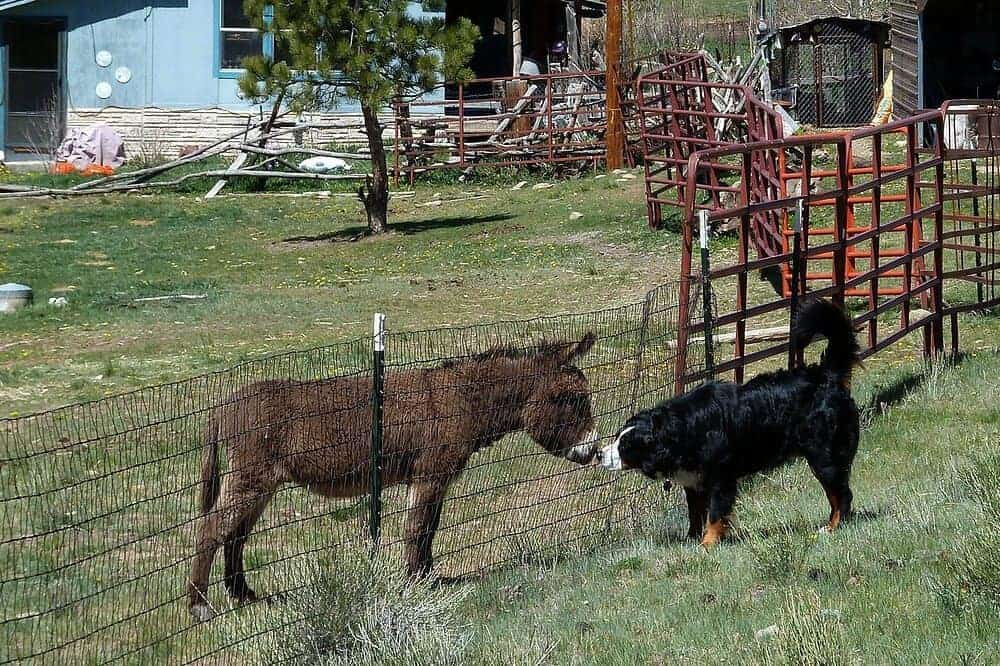 berner sennenhund esel kopf aussehen farben charakter wesen hunderasse beschreibung