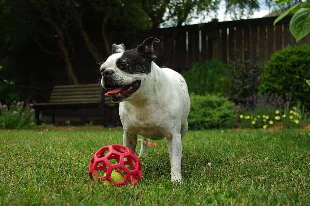 boston terrier hund hunderasse dog aussehen ball wiese gras