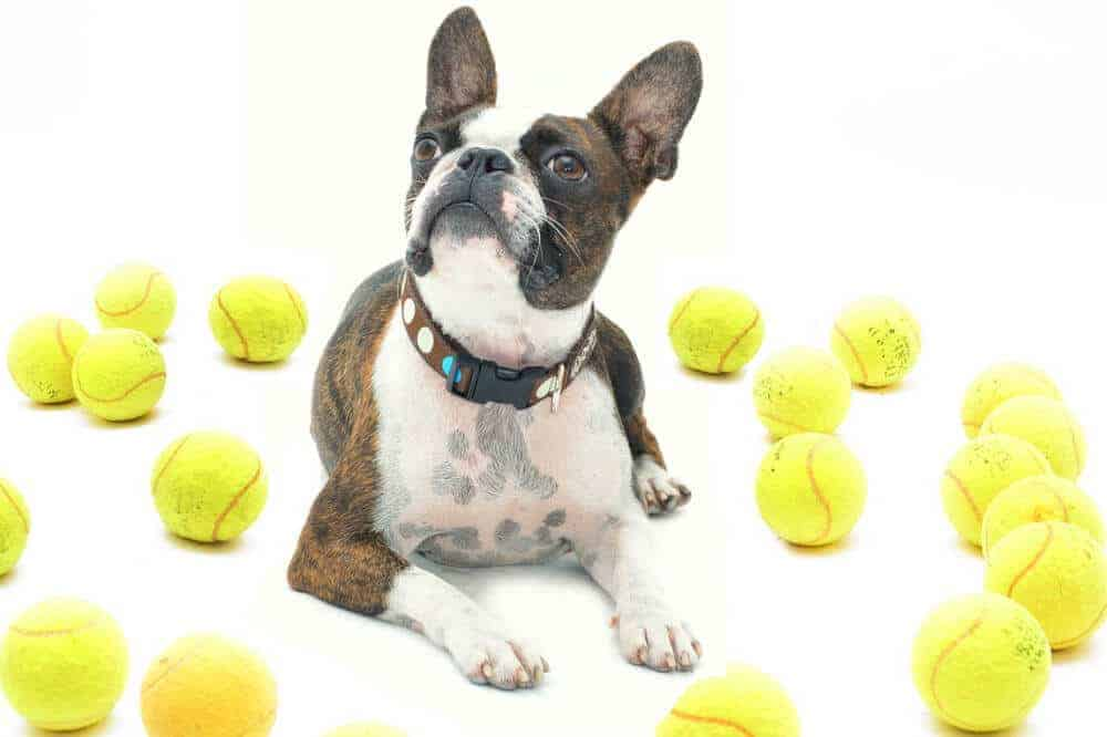 boston terrier hund hunderasse dog tennis ball
