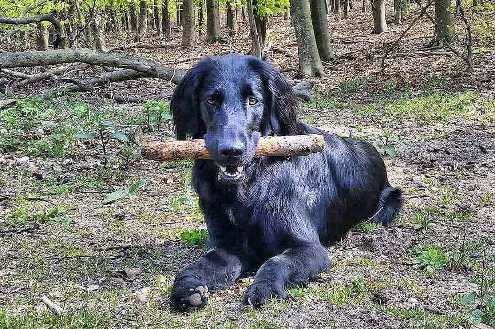 flatcoated retriever dog flat coated wald training hund hunderasse beschreibung eigenschaften aussehen