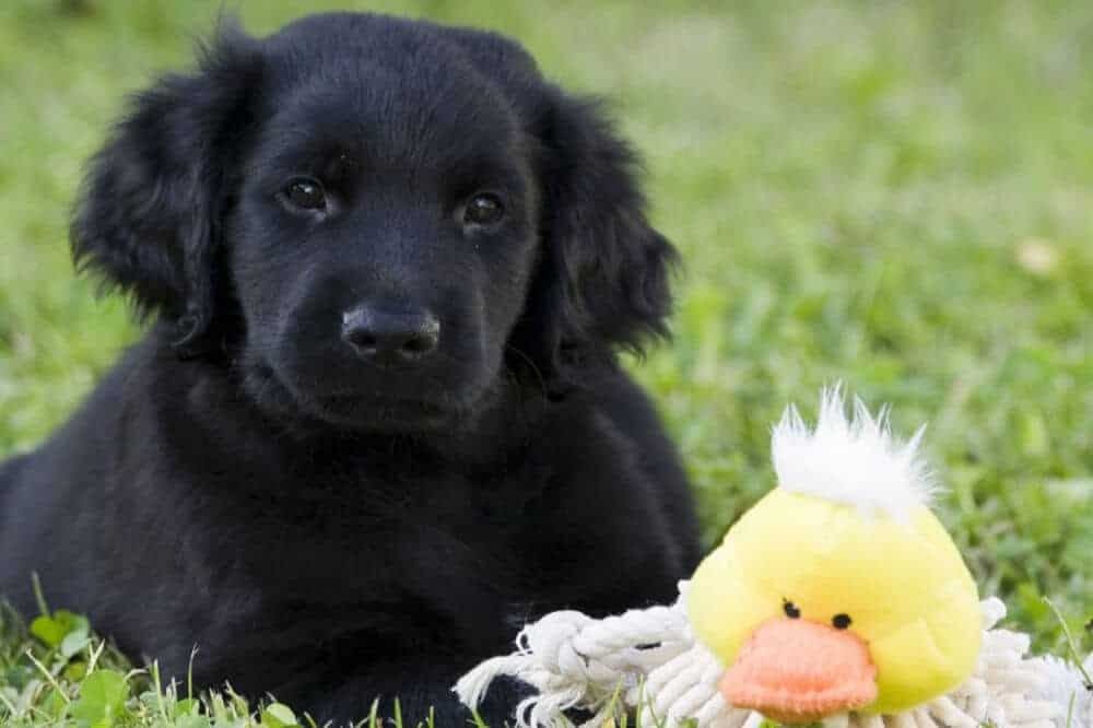 flatcoated retriever welpe flat coated puppy hund hunderasse beschreibung eigenschaften aussehen