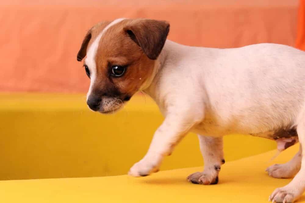 jack russell terrier jrt welpe puppy hunderasse hund beschreibung aussehen charakter eigenschaften dog breed