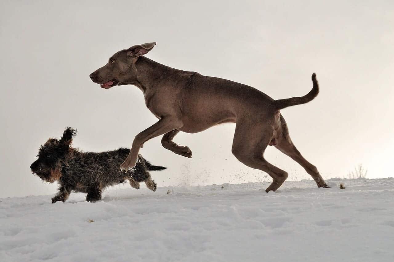 jagen eure hunde weimaraner dackel