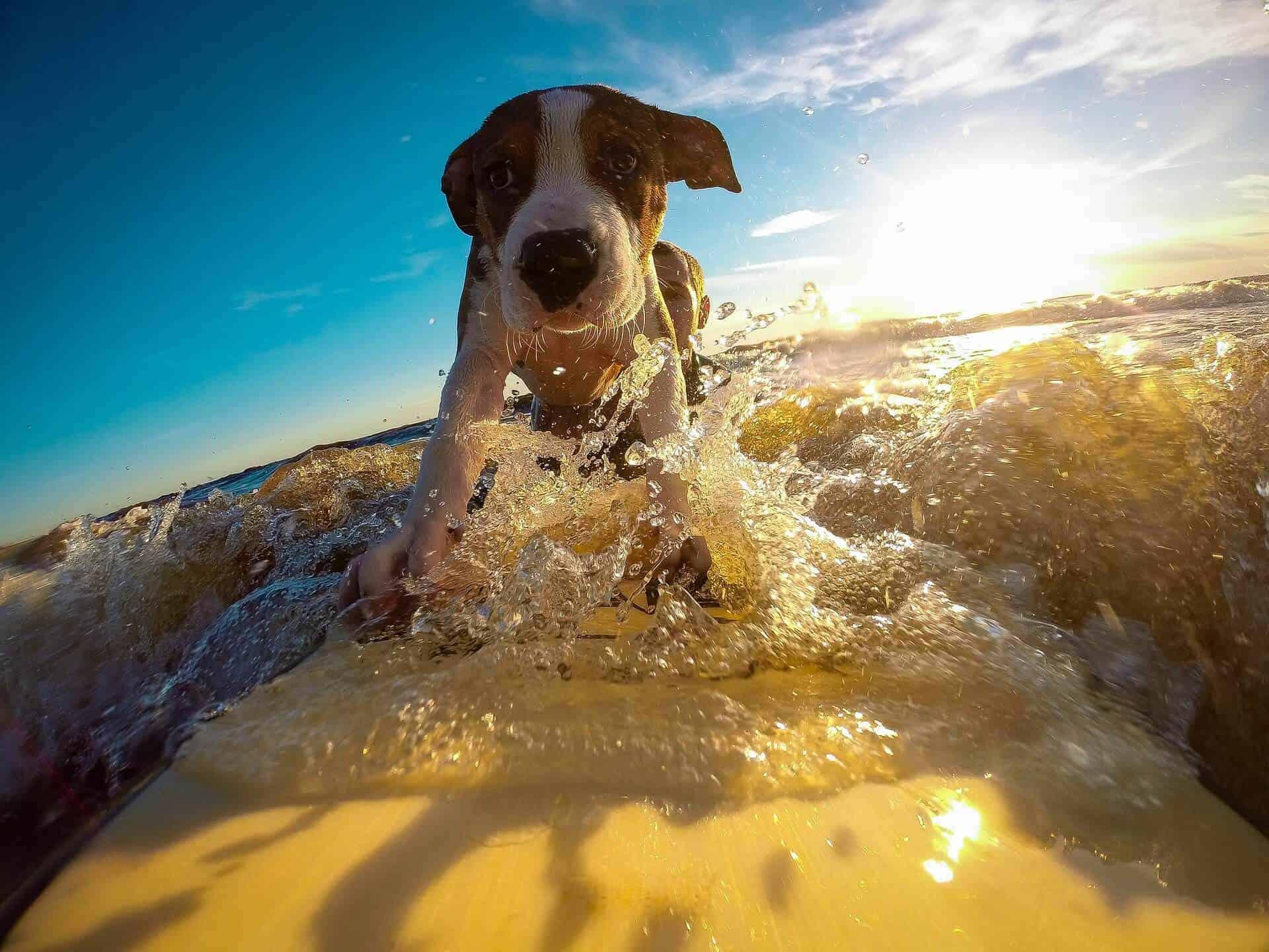 nehmt ihr eure hunde mit in den urlaub umfrage meer surfen surfbrett