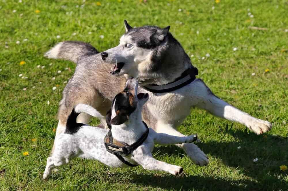 pubertät bei hunden spielen raufen hormone jack russell terrier husky