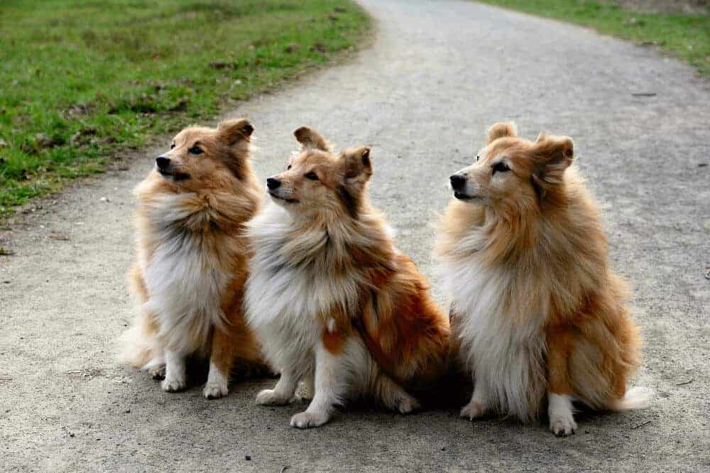 Shetland Sheepdog Hunderasse Shelties