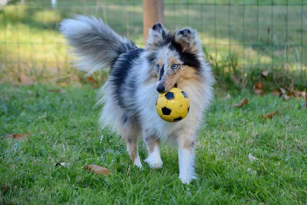 Shetland Sheepdog Hunderasse Spiel