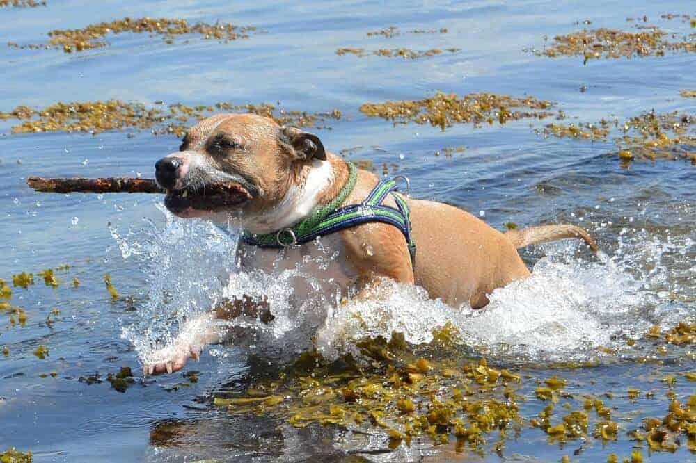 american pit bull terrier pitbull hund hunderasse ukc pittie