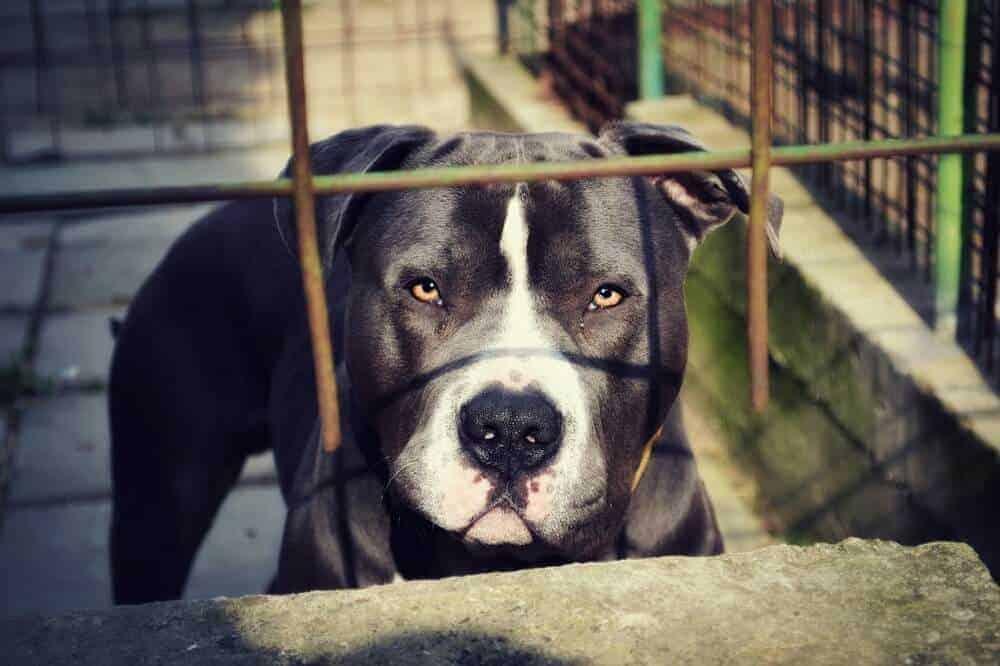 american pit bull terrier pitbull hund hunderasse ukc
