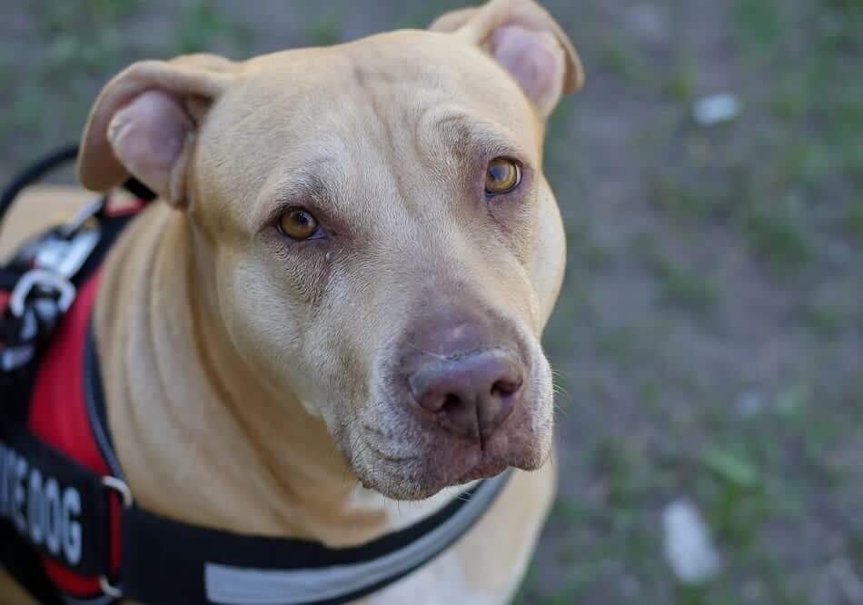 american pit bull terrier pitbull hund hunderasse
