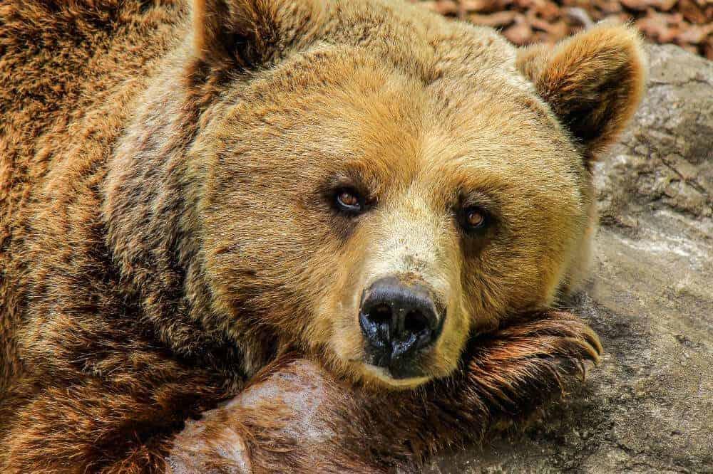 bär bear grizzly ursidae hundeartige tiere verwandt hund