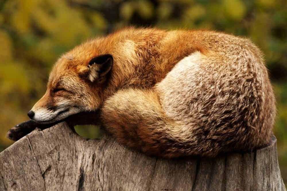 hundeartige fuchs schlafend fox canidae