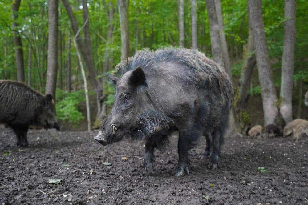 Pseudowut Krankheit Ursache Symptome Wildschwein