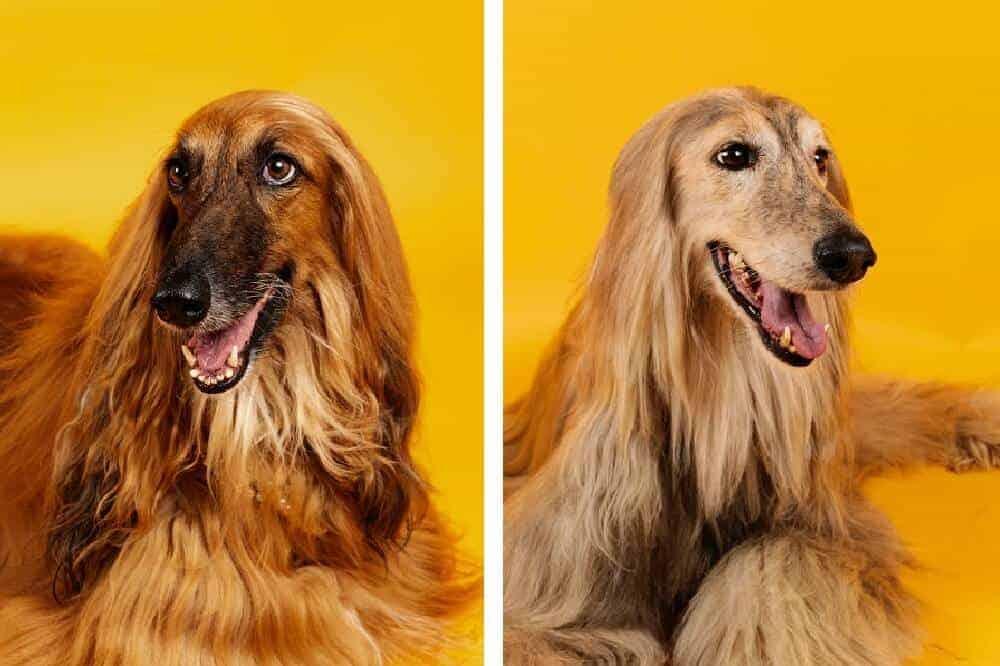afghanischer windhund hund hunderasse fci afghane breed