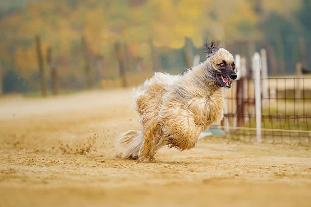 afghanischer windhund hund hunderasse fci afghane pixa