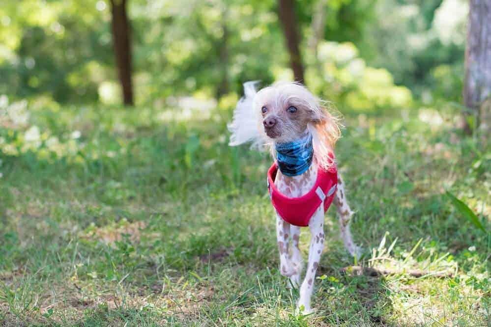 chinesischer schopfhund hund fci hunderasse haarlos dog unsplash