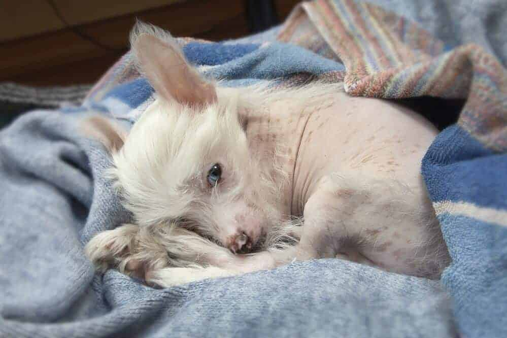 chinesischer schopfhund hund fci hunderasse haarlos dog