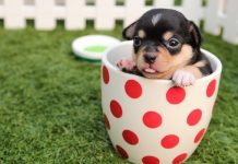 teacup dog hund klein qualzucht teetasse mini rasse pexels