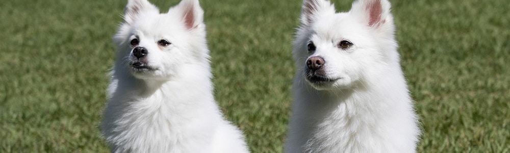 fci gruppen hunderasse hund rassennomenklatur rasse breed spitz