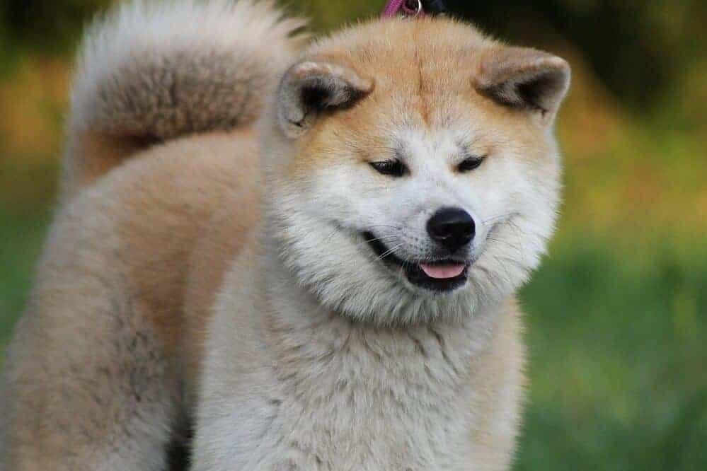 akita inu japan hund hunderasse fci dog breed