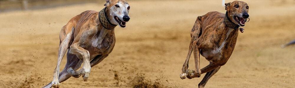 fci gruppen hunderasse hund rassennomenklatur rasse breed windhund