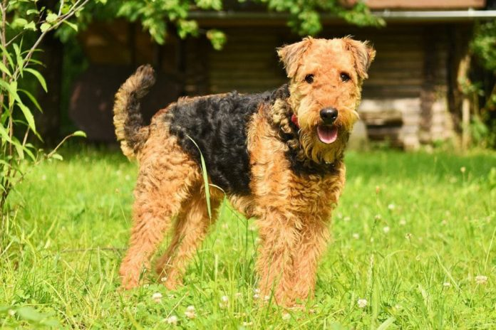 airedale terrier fci gruppe 3 titel