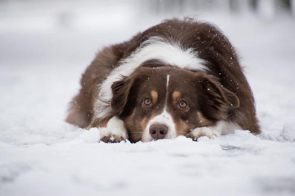 ein australian shepherd in braun weiß liegt im schnee, mit dem gesicht auf den pfoten