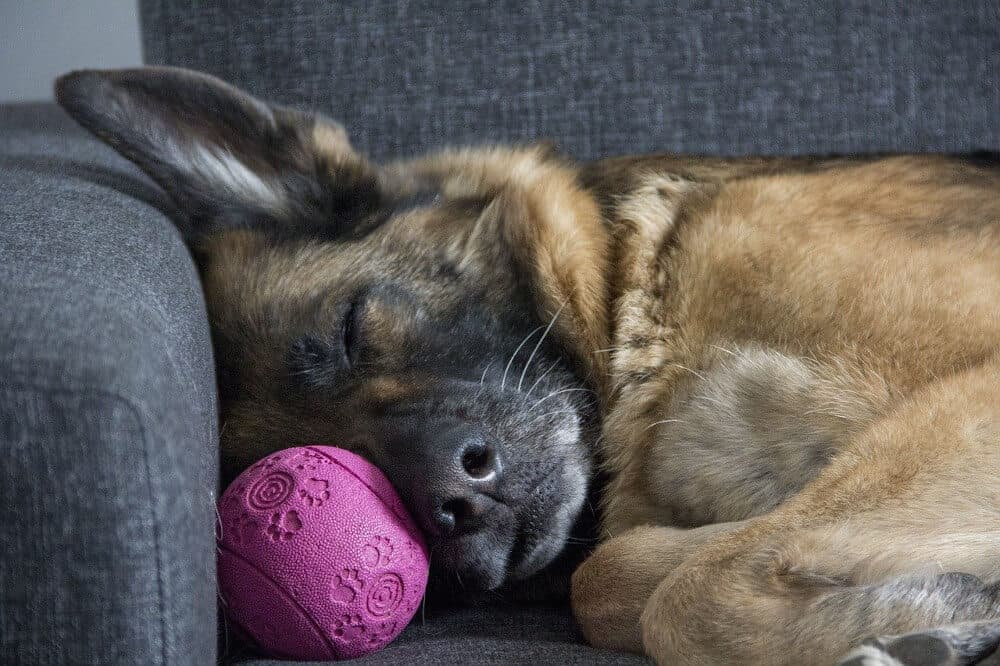 cbd bei hunden öl natürlich tropfen anwendung krankheit symptome