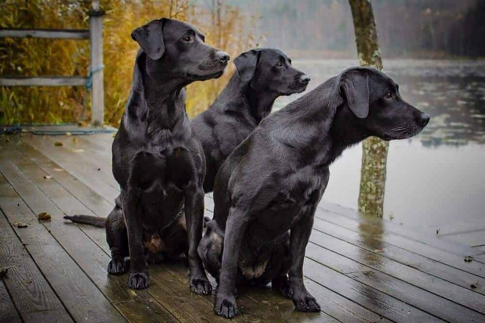 10 beliebtesten jagdhunde jagdhunderasse jagd hund labrador
