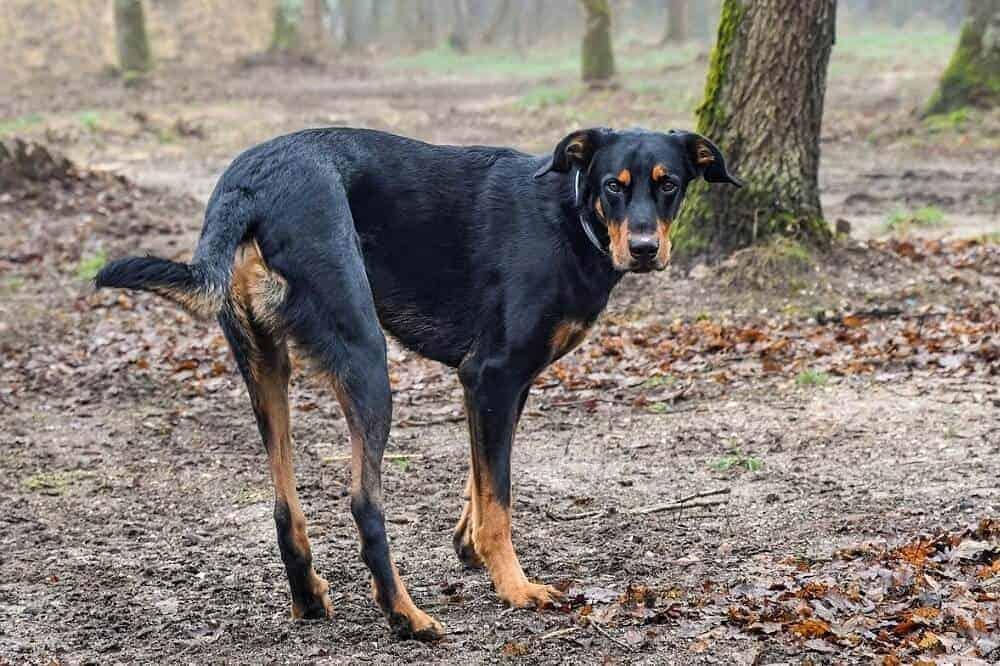 beauceron frankreich fci hun hunderasse dog breed