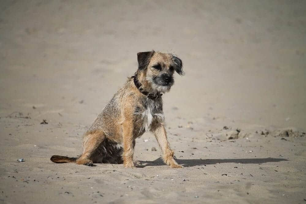 border terrier fci hund hunderasse dog breed rassestandard strand