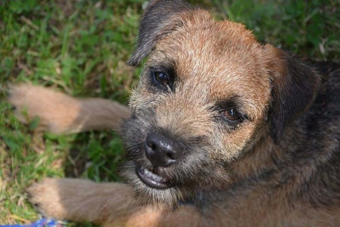 border terrier fci hund hunderasse dog breed rassestandard uk