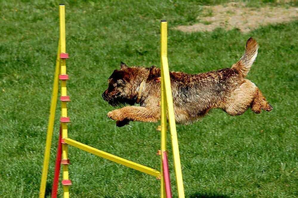 border terrier fci hund hunderasse dog breed rassestandard