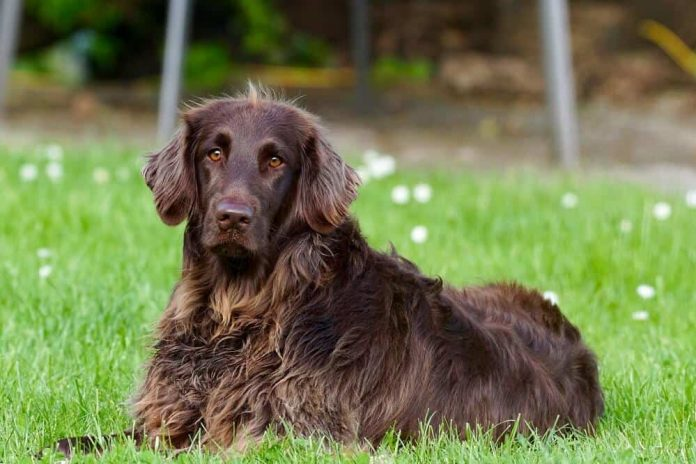 deutsch langhaar hund hunderasse fci rassestandard dog breed pexels