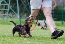hund dog dackel bei fuss rally obedience pixabay