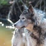 monschau wolf hund wolfhybrid tierheim abgegeben dna test
