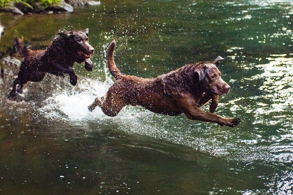 hund hunderassen für schwimmer wasser baden rasse badespaß see meer chesapeake