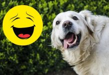 die lustigsten golden retriever gifs