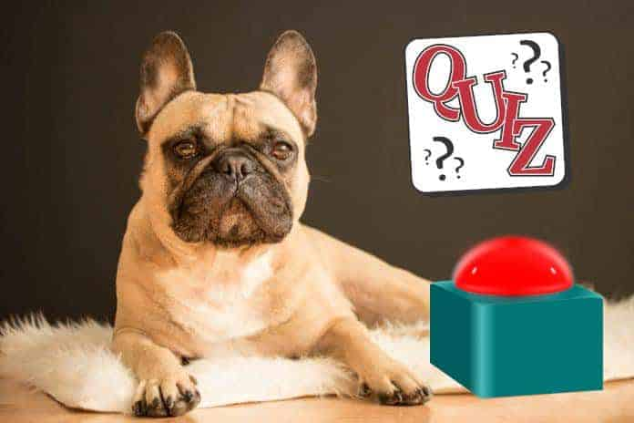 franzoesische bulldogge liegend hunde rasse beschreibung aussehen charakter quiz